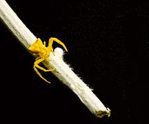 yellow spider on stalk - stock photo