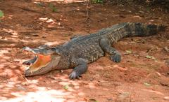 Dangerous alligator with open mouth Stock Photos