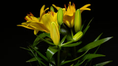 4K Yellow lily opening time lapse  Arkistovideo