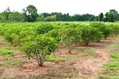 Stock Photo of jatropha plant in countryside of thailand