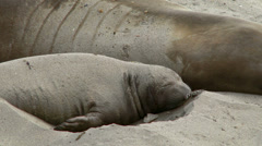 4K Young Elephant Seal Flipping Sand on Its Back - stock footage