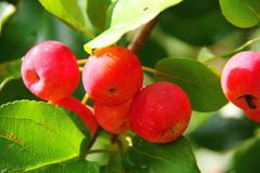 Apples in a garden in summer. - stock photo
