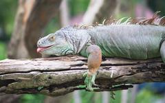 green iguana on wood - stock photo