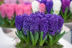 Pot of purple hyacinth in keukenhof, netherlands Stock Photos