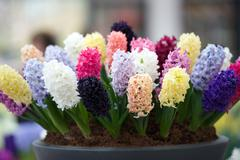 Pot with bright multi colored hyacinth, netherlands Stock Photos