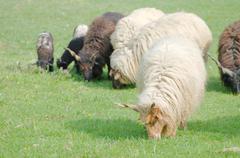 hungarian racka sheep leading the grazing - stock photo