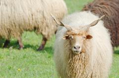 hungarian racka sheep gazing - stock photo