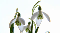 Snowdrops (Galanthus) on white. Stock Footage