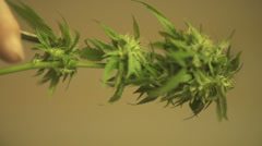 Marijuana plant being trimmed Stock Footage