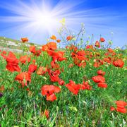 red poppies on the green meadow - stock illustration
