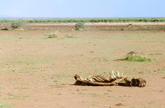 hippo remains, lake manyara national park - stock photo