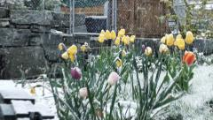 Snow falling on spring flowers Stock Footage