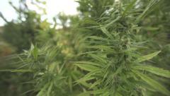 Marijuana grow up hidden in Forest 1080p Stock Footage