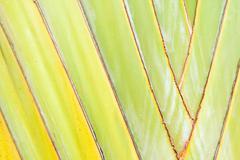 Texture of traveller's tree or banana fan Stock Photos