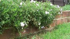 White Alpine plant 03 - stock footage