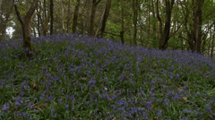 Mass of Bluebells in wood 05 Stock Footage