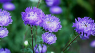 Stock Video Footage of flowers asters
