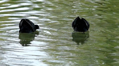 S/M Impressive Wildlife animal Coots Rallidae aggressively fighting during Stock Footage