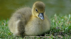 S/M Wildlife animal Goose Chicks Duckling sunbathing at water pond Stock Footage