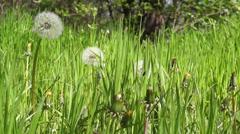 Macro video of a Grown dandelion Stock Footage