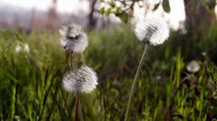 Macro of a Grown dandelion Stock Footage