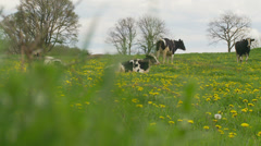 Cows & flowers Stock Footage