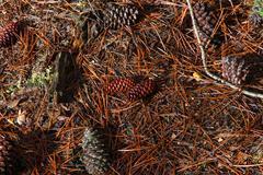 Fallen pine cones on the ground Stock Photos