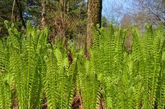 Fiddlehead ferns in spring grove Stock Photos