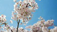Japanese Cherry Blossoms, Blue Sky, Slow Motion Cinemtographic Shot Stock Footage