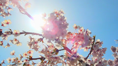 HD Lens Flare, Japanese Cherry Tree Blossoms, Blue Sky Stock Footage