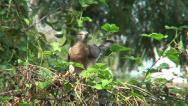 Stock Video Footage of COMMON HAWK CUCKOO BIRD ON TREE IN NATURAL AMBIENCE