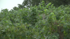 Vineyard at harvest CU vines Stock Footage