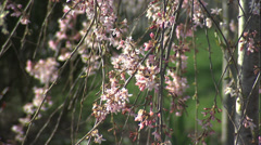 Weeping Cherry Tree in the Springtime. - stock footage