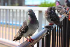 Pigeons in the city Stock Photos