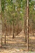 Stock Photo of eucalyptus forest in thailand, plant for paper industry