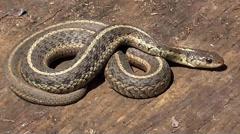 Garter Snake (Thamnophis sirtalis) Stock Footage