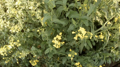 Rape Field vertical angle motion view Stock Footage