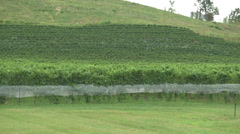 Vineyard at harvest on a hillside Stock Footage