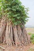 Sapling of cassav for cultivate Stock Photos