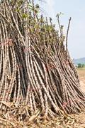 sapling of cassav for cultivate - stock photo