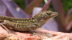 Brown Anole in Florida backyard Stock Footage