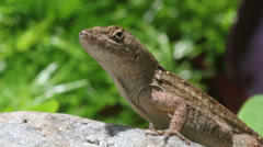 Brown anole1 Stock Footage