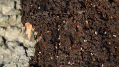 Close Up of Red Ants Moving Their Eggs Stock Footage