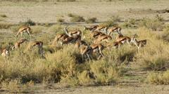 Springbok antelopes feeding, Kgalagadi Transfrontier Park, South Africa Stock Footage