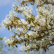 Saskatoon in bloom, the netherlands Stock Photos