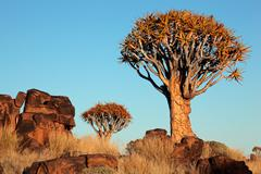 Quiver tree landscape - stock photo