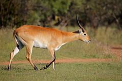 Red lechwe antelope - stock photo