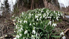 Lots of galanthus plant on the ground Stock Footage