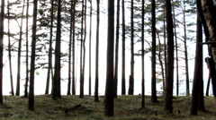 tall trunks of the pine trees - stock footage
