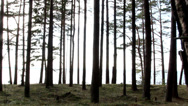 Stock Video Footage of tall trunks of the pine trees